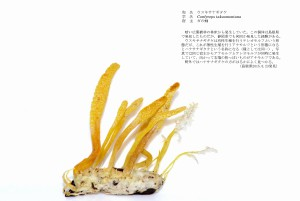 (sample1)ウスキサナギタケ