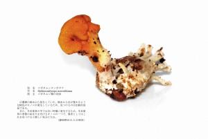 (sample3)コガネムシタンポタケ