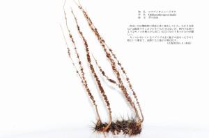 (sample4)コツブイモムシタケ